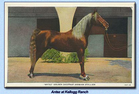 Click to view larger image of Antez at Kellogg Stables (116578 bytes)
