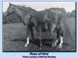 Rose of Hind